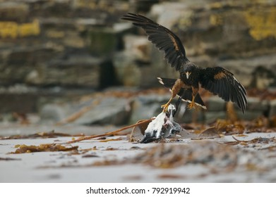 Striated caracara (Phalcoboenus australis) caries away a penguin carcass