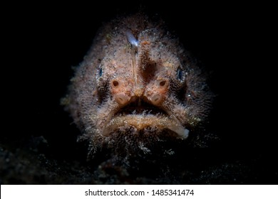 A Striated frogfish sits in the dark waiting to ambush prey in Lembeh Strait, Indonesia. This well-camouflaged fish is rarely seen because it blends into its surroundings so well.