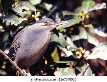 Striated Heron Bird