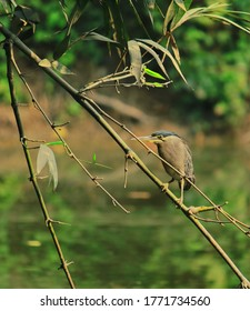 a striated heron or mangrove heron or little heron or green-backed heron (butorides striata) perched on a bamboo branch, looking for a prey in west bengal, india