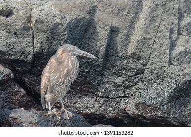 Striated Heron - On Black Rock