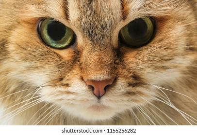 Strict furry cat face close up