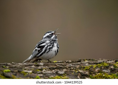 A striking Black and White Warbler perches on a tree trunk singing loudly in the soft overcast light.