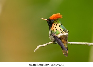 Striking caribbean hummingbird, isolated Tufted Coquette, Lophornis ornatus perched on twisted twig, showing its beautiful rufous crest and spotted plumes. Side view. Arima Valley, Trinidad.