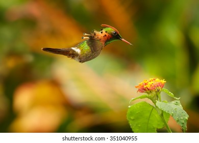 Striking caribbean hummingbird,Tufted Coquette, Lophornis ornatus feeding on nectar from an orange flower, with outstretched wings, rufous crest and spotted plumage. Side view. Arima Valley, Trinidad.