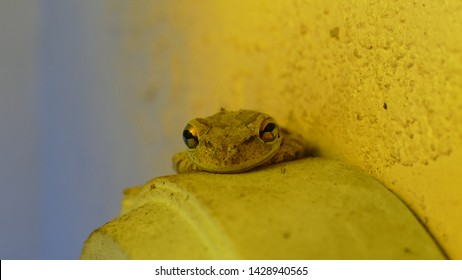 Striking Closeup Cuban Treefrog in Florida Osteopilus Septentrionalis on golden and blue background