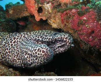 Striking honeycomb moray eel. Unleashed predator. Off coast of Sodwana Bay.