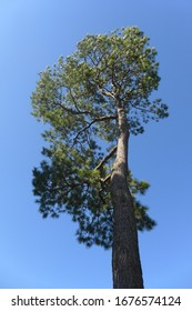 A striking low-angle view of the conifer Loblolly Pine, Pinus taeda from the Southeastern US against a blue sky