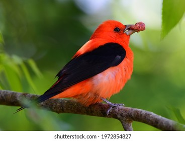 a striking male scarlet tanager eating a mulberry in a mulberry tree during spring migration in smith oaks sanctuary on high island, near winnie, texas