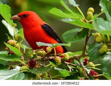 a striking male scarlet tanager perched in a mulberry tree during spring migration in smith oaks sanctuary on high island, near winnie, texas
