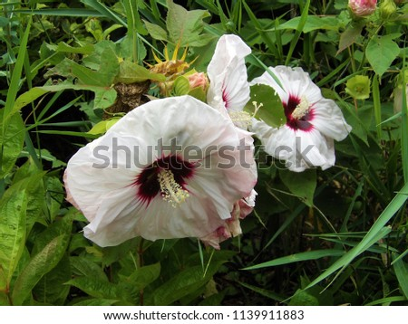 Striking Raspberry White Copper Queen Hibiscus Stock Photo Edit Now