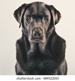 Striking Studio Portrait of Adult Chocolate Labrador