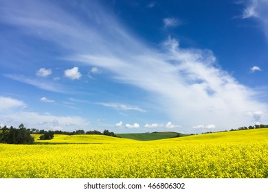 striking yellow canola field against deep-blue cloudy sky