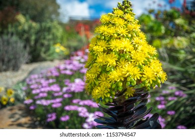 Striking yellow flowers of the succulent plant called Houseleek Tree, native to Canary Islands of the coast of Africa, here in Australian environment at Mount Tomah Botanic Garden, Blue Mountains.