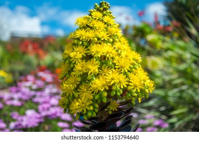 Striking yellow flowers of the succulent plant called Houseleek Tree, native to Canary Islands of the coast of Africa, here in Australian environment at Mount Tomah Botanic Garden in Blue Mountains.