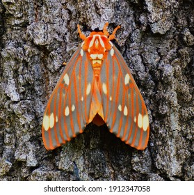 Strikingly colored giant silk moth - Regal Moth, Citheronia regalis, one of the largest butterflies or moths (Lepidoptera) of North America, on oak tree bark