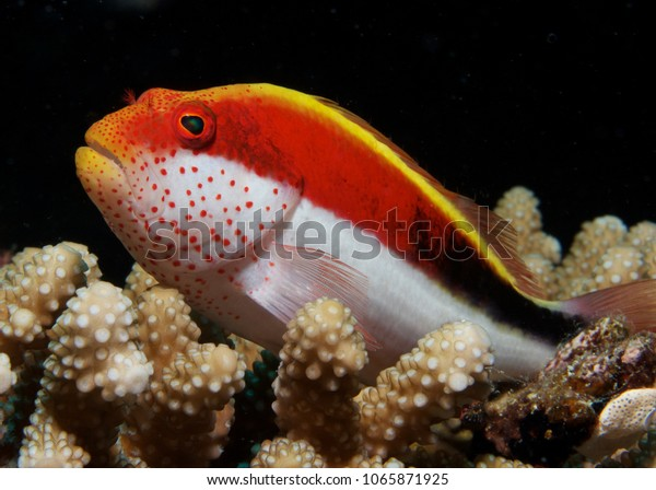 Strikingly colorful Blackside hawkfish posed majestically on hard coral, close-up, Fiji