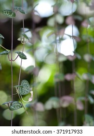 String of hearts with flower may use for valentine's day or love theme. Ceropegia woodii Family Asclepiadaceae Common names include chain of Hearts, collar of hearts, rosary vine, sweetheart vine.