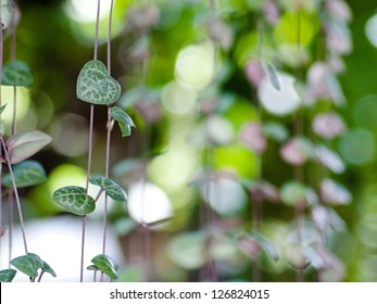 String of hearts(Ceropegia woodii) Family Asclepiadaceae Common names include chain of Hearts, collar of hearts, string of hearts, rosary vine, hearts-on-a-string, sweetheart vine.