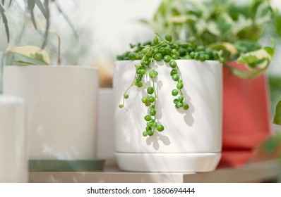 String of Pearls Plant in White Planter