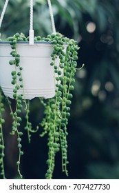 string of pearls succulent plant hanging in a greenhouse, symbolizing calm and serenity