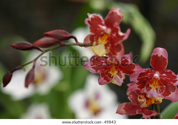 string of red orchids