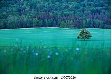 String time, tree with white boom on green meadow, hill Ruzovy vrch, Czech. Solitary chestnut tree, with white bloom, on the meadow, with dark forest in background. Landscape from Czech nature.  - Shutterstock ID 1370786264