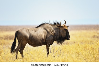 Stripe gnu in the Etosha-national park in Namibia South Africa