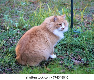 A stripe orange male cat with white neck is sitting on the ground under the bird feeder looking forwards to hunt the birds, Autumn in GA USA.