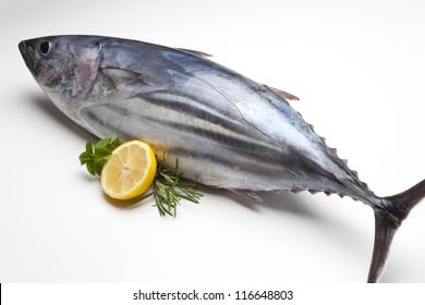 stripe-bellied Tuna. Euthynnus pelamis. Scomberomoridae. (at�ºn)
