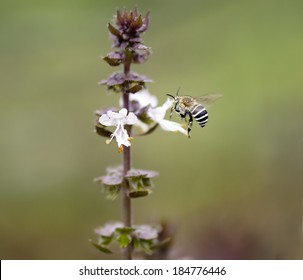 Striped banded Australian native bee Amagilla on a cinnamon basil flower extracting nectar