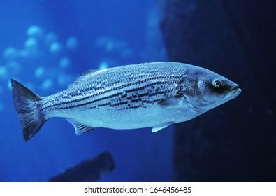 Striped Bass, morone saxatilis, Adult