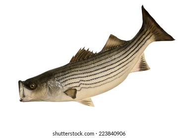 A Striped Bass (Morone saxatilis) isolated on a white background.