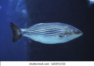 Striped Bass, morone saxatilis   underwater view