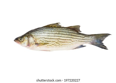 Striped bass whole fresh fish, also called Atlantic striped bass, striper, linesider, rock or rockfish, product of USA, isolated on white background.