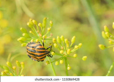 Striped beetle. Colorado beetle on dill. Striped beetle on a green background. Colorado beetle on a green background.