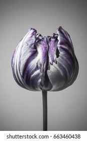 striped bud of a tulip, a purple color, a gray background.