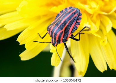 Striped bug or Minstrel bug, Graphosoma lineatum. a species of shield bug in the family Pentatomidae