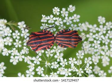 Striped bug - Minstrel bug - Graphosoma lineatum