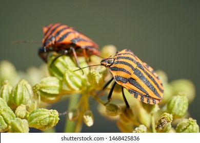 Striped bugs (Graphosoma lineatum) on a blossom in summer