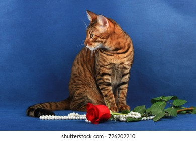 The striped cat of the breed Toyger sits near the flower and jew