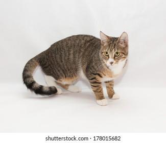 Striped cat looks warily toward