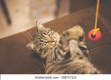 Striped cat playing with a red ball