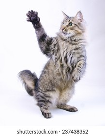 striped cat swinging his paw