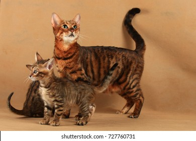 Striped cat of Toyger breed with two kittens