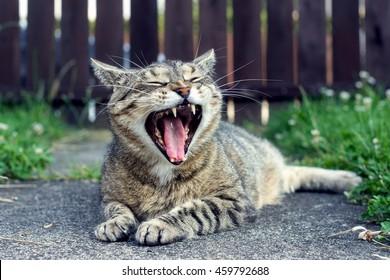 Striped cat yawns on the street