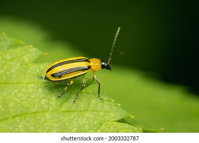 Striped Cucumber Beetle reste on a green leaf with blurred background and copy space