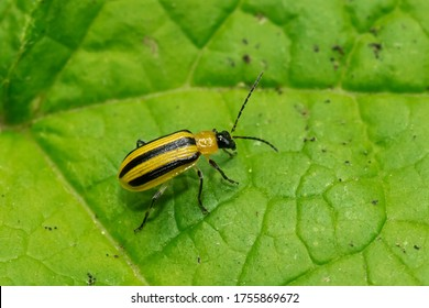 A Striped Cucumber Beetle is resting on a green leaf. Taylor Creek Park, Toronto, Ontario, Canada.