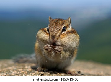 striped cute Chipmunk sitting and eating seeds