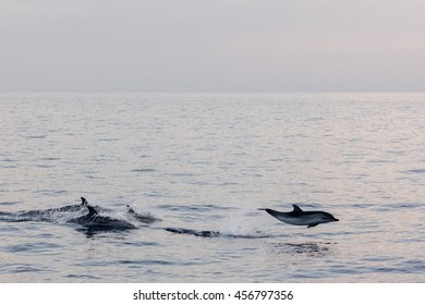 striped dolphin jumping outside the sea at sunset
